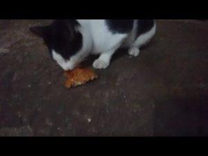 kucing makan tempe